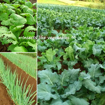 虫たちも野菜好き♡体が喜ぶ野菜作っちょります!