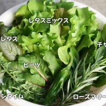 葉物系ベランダ野菜、絶好調★無農薬サラダが美味しい♪