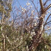 のほほん農園(2月中旬)☆ジャガイモのマルチ栽培