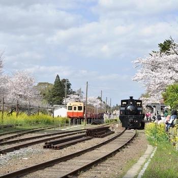 桜と菜の花 ドライブ (2018.3.31)
