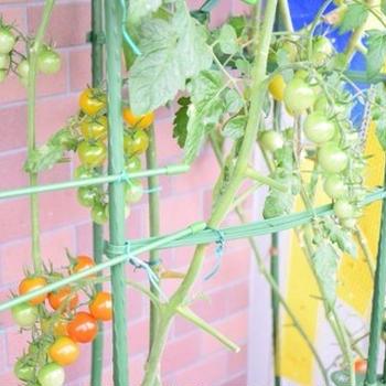【ベランダ菜園】ミニトマト&すいか&朝顔