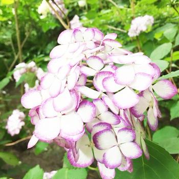 鎌倉~紫陽花巡り