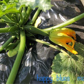 ズッキーニの花に詰め物をして、焼きました (^^)v