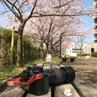 桜の下でスムージー
