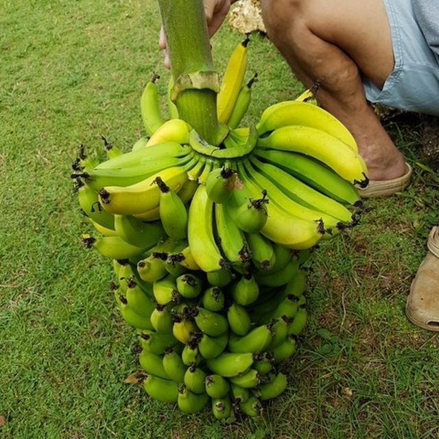 一度に収穫するバナナの量(巨大)