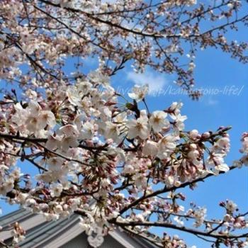 第23回小田原かまぼこ桜まつり