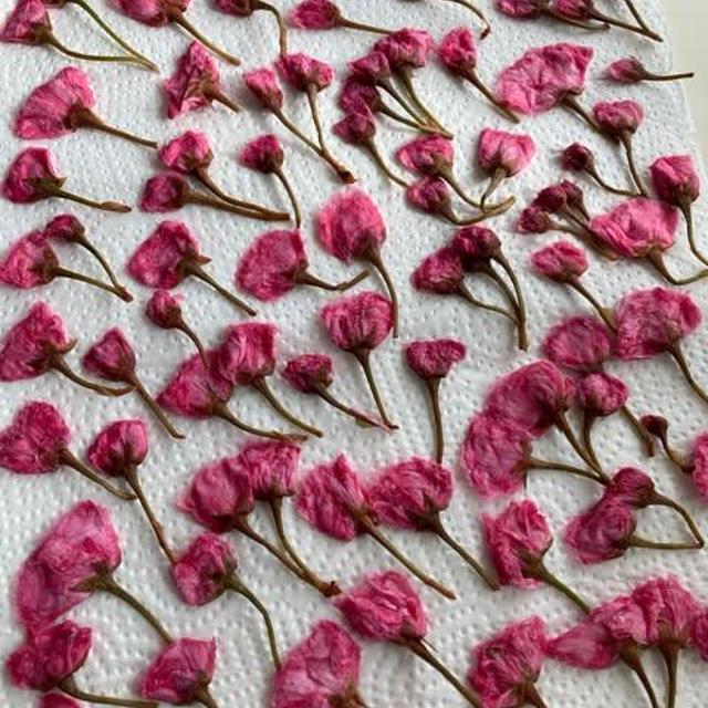 桜の花の塩漬け完成しました♪