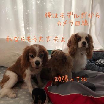 【キャバリアレスキュー隊トライアル中ディブ】ディブちゃんトライアルスタートしました!