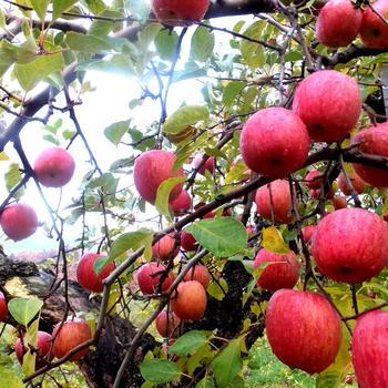 山形での「りんご収穫アルバイト」りんごが鈴なり~♪