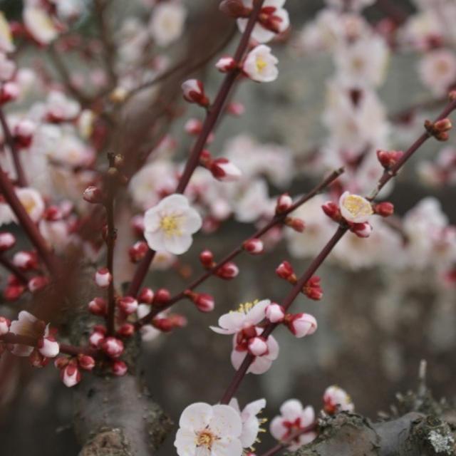 梅は咲いたか 桃屋はまだかいな・・・