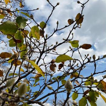 秋空に木蓮の蕾