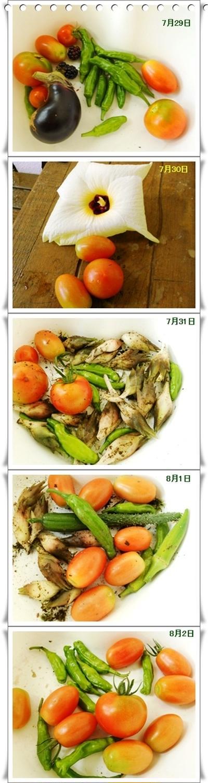 花オクラ(トロロアオイ)の食べ方