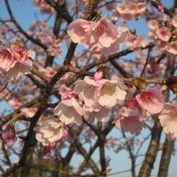 早咲きサクラの開花の様子