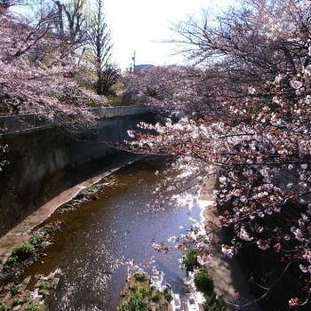 桜散歩@石神井公園2019