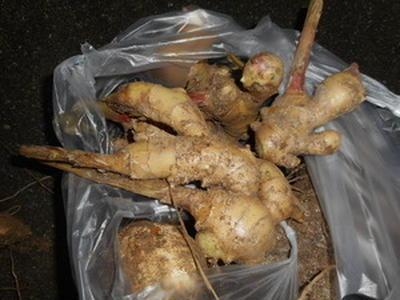家庭菜園のしょうがを収穫!!...シロップ作りに挑戦