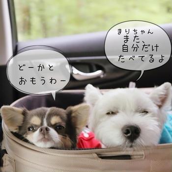 【チワワ&ウエスティ】飼い犬のいやがらせ(笑)