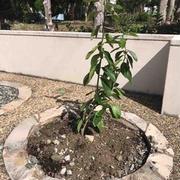 レモンの苗を植えました
