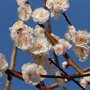 梅の花咲いた♪