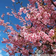 お散歩*河津桜