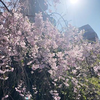 今年は撮れなかった家族と桜の写真