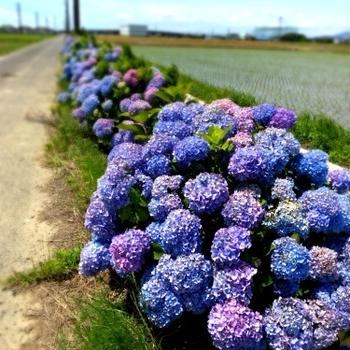 紫陽花と梅仕事