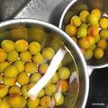 果実酒レシピ|「梅」で作る美味しいお酒の作り方。