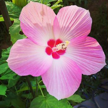 【Instagram】ずっと欲しかったタイタンビカス。真夏に豪華な花をつけました南国らしい庭にまた一歩近づけた。#タイタンビカス #南国みたいな庭にしたい