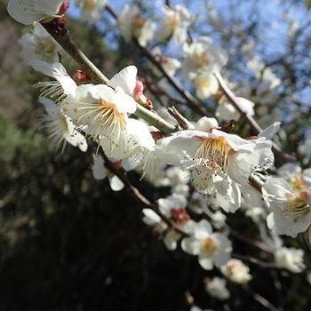 梅が咲いたら春ジャガイモ☆葉山農園(2月中旬)
