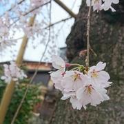 京都の桜 Part 1♪