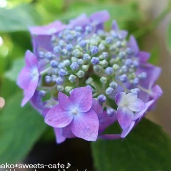 ガーデニング*山紫陽花