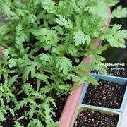 野菜高騰を乗りきる!今すぐ育てれる野菜3種の紹介