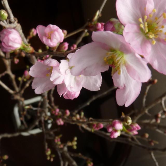平目の桜カルパッチョ