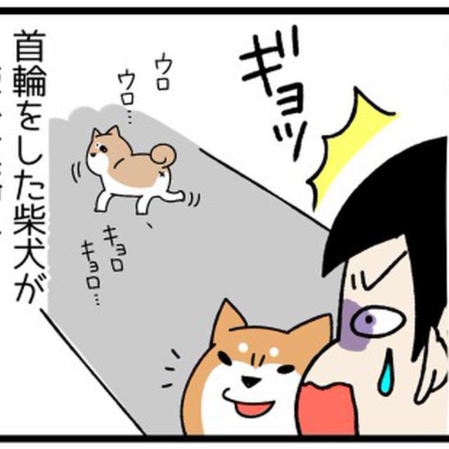柴犬 どんぐり