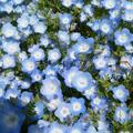 ネモフィラも花盛り