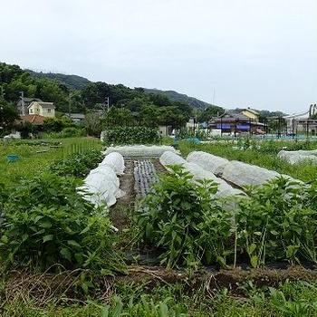 オクラ摘葉☆葉山農園(7月上旬)