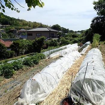 のほほん農園(5月中旬)☆キャベツとブロッコリーのコンパニオンプランツ