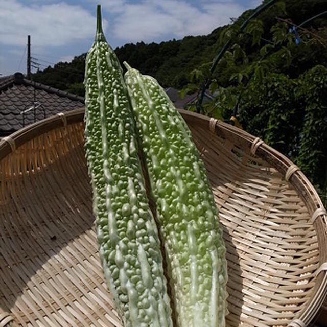 ゴーヤの収穫☆自家製ゴーヤ茶を作ろう♪