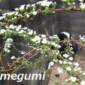 食卓に春を添えて、メンチカツ&ほたるいか&菜の花