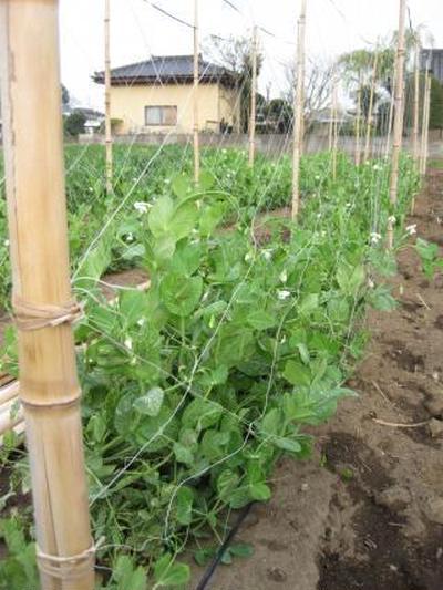 実家の春野菜、育ってきてます。