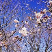 オオカンザクラが咲いていました