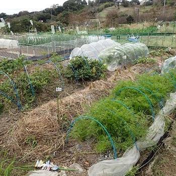 小さな菜園(10月上旬)☆芽キャベツの赤ちゃん