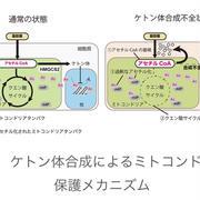 ケトン体合成の新たな作用を発見!ミトコンドリア保健、臓器保護