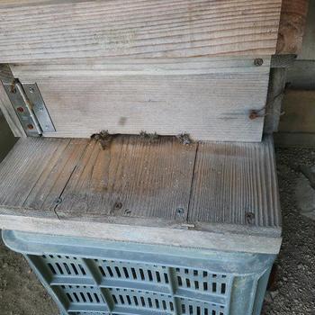 初めての養蜂:仲間同士で助け合うミツバチ