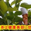 【美肌効果】柿の葉茶はビタミンCがたっぷり!効果効能と作り方