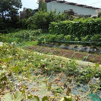 マクワウリ収穫☆葉山野菜栽培記(7月初旬)