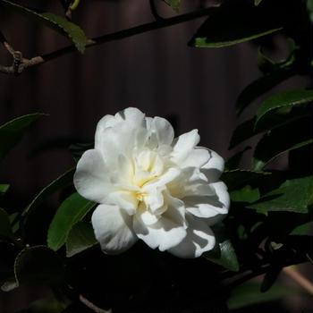 我が家の庭から(山茶花)