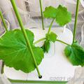 【水耕栽培】ブラックズッキーニ つるなしなので省スペースで育てられる夏野菜