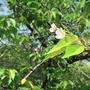 新緑のソメイヨシノ