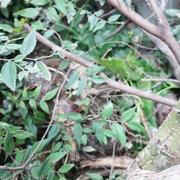 お庭のキクラゲ~v(^0^)/