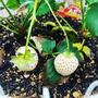 【Instagram】白いイチゴが実りました#イチゴ#白いイチゴ#家庭菜園